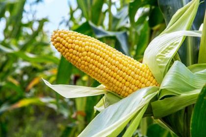 全球饲粮市场一周要闻:高价制约需求,玉米价格下跌